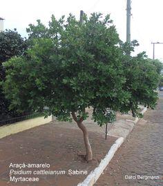 Araçá amarelo-Espécie arbórea com altura de 3-6 metros e tronco de 15-25 cm de diâmetro. As folhas são simples, coriáceas, glabras, de 5 -10 cm de comprimento por 3 - 6 cm de largura, com pecíolo de 0,4 -1,0 cm de comprimento. As flores são de coloração amarela e os frutos são bagas globosas de coloração entre amarelo e vermelho.