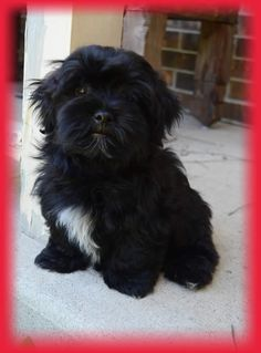 This is what Lulu looked like when she was a puppy. But she is not a Havanese.