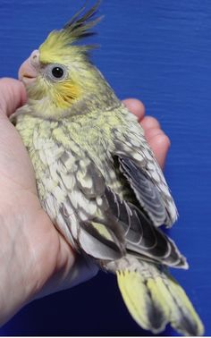 Cockatiel Pictures - Baby Birds - Adult Birds - Varied Mutations