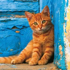 Cats live an undisturbed life on the Greek islands. GREEK ISLAND CATS WALL CALENDAR features scenic images of the ?ancient? cat of Egyptian origin in sun-splashed Mediterranean landscapes. It's perfect for the cat lover in your life! •Monthly grid features 8 languages