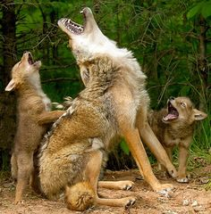 "Image: A couple of coyote pups get a howling lesson from mom. According to photographer Debbie DiCarlo, ""The magic began when distant coyote..."