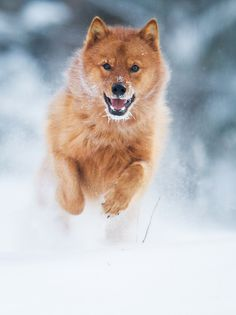 The Finnish Spitz is thought to be especially good on feathered game too. Spitz Dog Breeds, Spitz Dogs, Dog Photos, Dog Pictures, Japanese Dogs, Australian Shepherd Dogs, Majestic Animals, Wild Dogs, Hunting Dogs