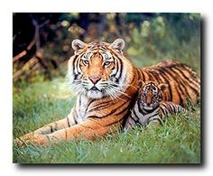 Wild Tiger and Cubs Wildlife Animal Art Print Poster (16x20)