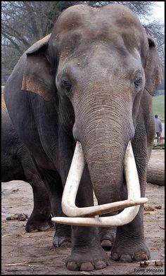 Elephants with such big, long tusks are in danger of being killed by poachers.