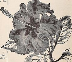 "Image from page 61 of ""Cox seed and plant co. catalogue"" (1896) 