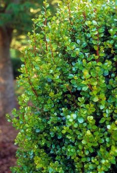 Myrsine africana (African Boxwood) Summer-Dry Plants and Gardens Dry Garden, Gnome Garden, Boxwood Hedge, Boxwood Garden, Screen Plants, Coral Garden, Privacy Screen Outdoor, Reserva Natural, Privacy Landscaping