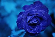Flower Images Hd, Flower Pictures, Rose Images, Rose Background, Theme Background, Background Pictures, Blue Roses, Blue Flowers, Flowers Nature