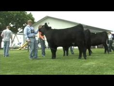 Show season is almost here! Learn how to fit and show cattle like a pro. This is part two of a video series.
