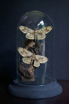 Brahmin Owl Moth Glass Dome Display by TheButterflyBabe on Etsy, can diy them with birds feathers and not kill endangered moth or butterfly species Glass Bell Jar, The Bell Jar, Bell Jars, Glass Dome Display, Glass Domes, Curiosity Cabinet, Cloche Decor, Jar Art, Gothic House