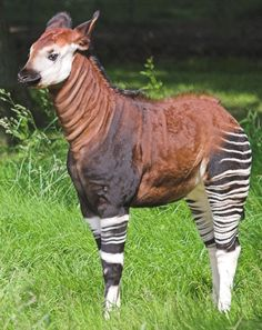Beautiful Okapi...it is related to the giraffe