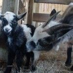 The signs that your goat is going into labor, plus a video of an assisted birth.
