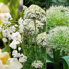 The White Allium Collection - Alliums are loved by bees and they will help add colour to the garden in early summer. They are great for adding contrast and diversity to the border, which also meks them a perennial favourite with garden designers. The cool white flowers in this collectrion will shimmer like jewels in the garden. All these Allium varieties will naturalise well and look good planted in naturalistic swathes or clusters.