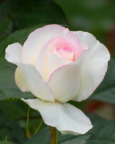 Pale Pink Rose: