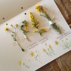 "Need that nature journal! ""Cataloging yellow wildflowers used for natural dyes. Yellow Wildflowers, Yellow Flowers, Hair Flowers, Dried Flowers, Flora Flowers, Fresh Flowers, Art Hoe Aesthetic, Aesthetic Yellow, Aesthetic Drawing"