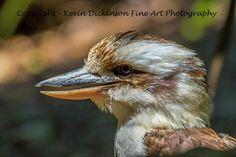 Kookaburra Kevin Dickinson fine art photography, canon photography, Buy rainforest art, buy rainforest photograph,