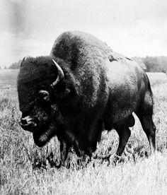 Vintage Buffalo Photo
