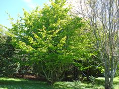 T.E.R:R.A.I.N - Taranaki Educational Resource: Research, Analysis and Information Network - Parrotia persica (Persian ironwood)