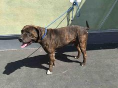 A1654070 - URGENT - CITY OF LOS ANGELES SOUTH LA ANIMAL SHELTER in Los Angeles, CA - Adult Male Pit Bull Mix