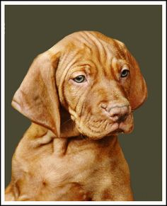 Of a Vizsla . This Breed has My Heart & Soul ! All About Puppies, Small Puppies, Cute Dogs And Puppies, Doggies, Most Beautiful Dog Breeds, Beautiful Dogs, Puppy Kennel, Hungarian Vizsla, Red Dog