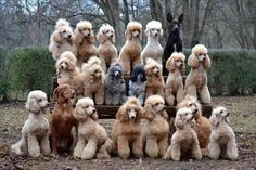 I LOVE this poodle pic!!