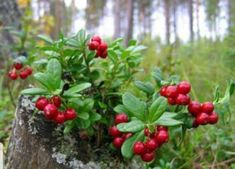 Lingonberries (Vaccinium vitis-idaea) grow everywhere! You can make delicious jam from them. Learn Finnish, Berry Picking, Edible Wild Plants, Exotic Fruit, Green Nature, Fruit And Veg, Fruit Trees, Permaculture, Amazing Nature