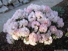 Bildresultat för rhododendron yakushimanum