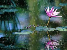 lotus flower - Google Search