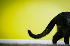 El lenguaje de la cola de los gatos http://blog.theyellowpet.es/lenguaje-cola-gatos/