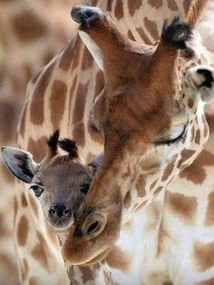 Nature Animals, Animals And Pets, Beautiful Creatures, Animals Beautiful, Cute Giraffe, Wild Creatures, Majestic Animals, Mundo Animal, Tier Fotos