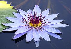 nature | flowers | water lily