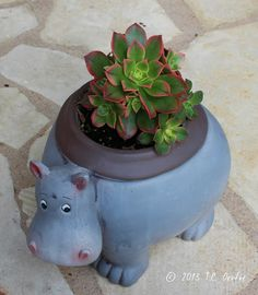 Hippo pot for a lovely little succulent.Another cute hippo planter. Love my hippos.