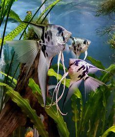 Discus Aquarium, Discus Fish, Freshwater Aquarium, Tropical Aquarium, Tropical Fish, Types Of Sharks, Life Aquatic, Angel Fish, Aquatic Plants