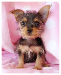 chorkie!--seriously, i miss my dog.  and i really miss him being this little....