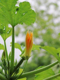 fleur de courgette mâle et femelle sur une balcon dans une jardinière Beautiful Nature Wallpaper, Flora, Pumpkin, Vegetables, Spring, Plants, Painting, Business, Gardens