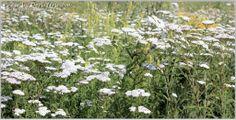 ТЫСЯЧЕЛИСТНИК и правила заготовки лекарственных трав для начинающих   блог дорис ершовой