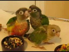 Green-Cheeked Conure, do's and don'ts. These loving little clowns will brighten your lives if you let them, but they need to be a viable part of your family to be happy. Budgies, Parrots, Pineapple Conure, Young Baby, Felt Birds, Clowns, Bird Feathers, Cute Animals, Happy