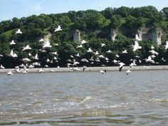 Pelicans have returned to the Alton region. Over 1,500 seen in the area!