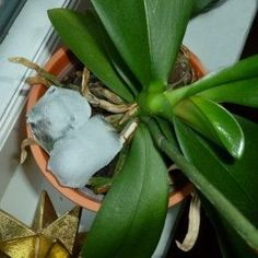 Simple Trick to Rebloome Orchids