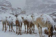 ابلٌ قد اكتست بالثلوج منطقة الظهر، جبال اللوز شمال غرب تبوك -المملكة العربية السعوديه ♥♥♥