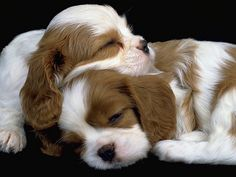 King Charles pupies peace b with u both 4 ever