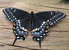 Black Swallowtail Butterfly | Butterflies | Pinterest ...