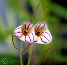A vivid pair of pink-striped masdevallia orchid flowers