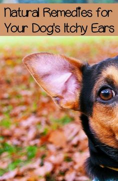 Itchy ears can be a nightmare for dogs. It's one of the more uncomfortable things for them. These suggestions will help you alleviate your dog's itchy ears.