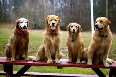 PoeticGold Farm Dog Training & Golden Retrievers in Falmouth, Maine