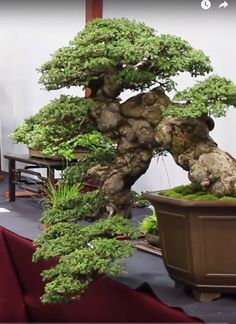 Start Day How to Grow a Bonsai Tree - Gardening Art Bonsai Forest, Bonsai Garden, Indoor Bonsai, Indoor Plants, Greenhouse Gardening, Container Gardening, Bonsai Tree Care, Bonsai Trees, Pine Bonsai