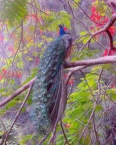 Peacock in a tree - the branches and foliage are beautiful, too. Peacock Images, Peacock Pictures, Exotic Birds, Colorful Birds, Beautiful Birds, Animals Beautiful, Animal Photography, Nature Photography, Peacock And Peahen