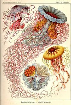 All sizes   Vintage jellyfish illustration   Flickr - Photo Sharing!