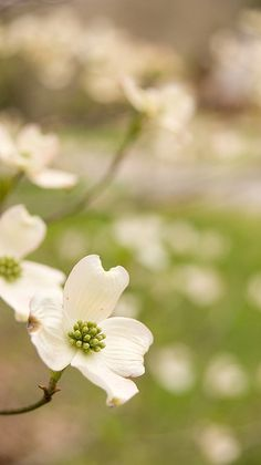 This photo of flowering dogwood should get you ready for spring in Missouri! Photo taken at Dogwood Canyon Nature Park.