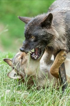 Fox, Animals, Angry Wolf, Advertising Photography, Product Photography, History, Landscape, Pictures, Animales