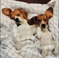 Beagle, Corgi, Animals, Corgis, Animales, Animaux, Beagle Hound, Animal, Animais